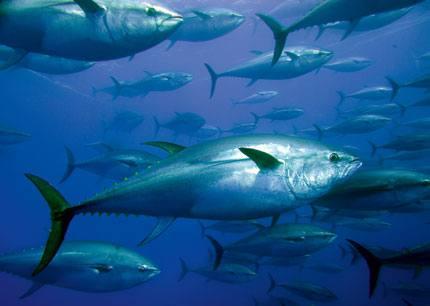 431-24-king-tuna